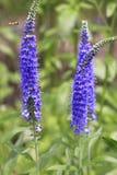 Υπόλοιπος κόσμος μπλε lavender Στοκ Εικόνα