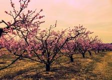 Υπόλοιπος κόσμος της άνθησης δέντρων ροδακινιών Στοκ εικόνα με δικαίωμα ελεύθερης χρήσης