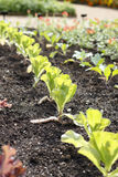 Υπόλοιπος κόσμος της πράσινης ανάπτυξης λάχανων κραμπολάχανου στον κήπο Στοκ φωτογραφία με δικαίωμα ελεύθερης χρήσης