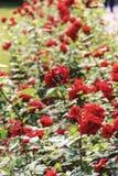 Υπόλοιπος κόσμος των κόκκινων τριαντάφυλλων Στοκ Φωτογραφία
