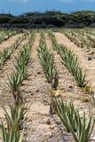 Υπόλοιπος κόσμος Alow Βέρα Plants στην απόσταση στοκ φωτογραφία