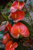 Υπόλοιπος κόσμος Anthurium Στοκ Φωτογραφίες