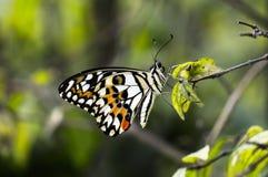 Υπόλοιπο πεταλούδων στο φύλλο Στοκ Φωτογραφία
