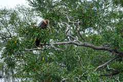 Υπόλοιπο Anhinga επάνω σε ένα δέντρο Στοκ εικόνες με δικαίωμα ελεύθερης χρήσης