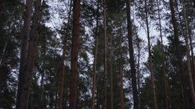 Υψηλά δέντρα πεύκων που ταλαντεύονται αργά στον αέρα απόθεμα βίντεο
