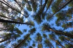 Υψηλά δέντρα πεύκων στο δάσος στην όμορφη ημέρα Στοκ Εικόνες