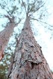 Υψηλά δέντρα στο δάσος Στοκ Εικόνες