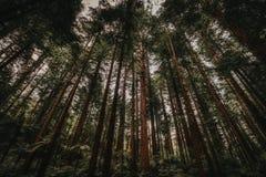 Υψηλά δέντρα του δάσους redwood στοκ φωτογραφία με δικαίωμα ελεύθερης χρήσης