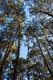 Υψηλή άποψη γωνίας του δάσους πεύκων στοκ εικόνα