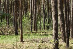 Υψηλοί κορμοί δέντρων των δέντρων πεύκων Στοκ φωτογραφία με δικαίωμα ελεύθερης χρήσης