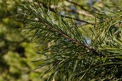 Υψηλός καθορισμός wildnature εγκαταστάσεων Needled Στοκ εικόνα με δικαίωμα ελεύθερης χρήσης