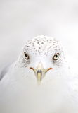 υψηλό βασικό seagull ύφος Στοκ φωτογραφίες με δικαίωμα ελεύθερης χρήσης