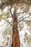 Υψηλό δέντρο πεύκων στοκ φωτογραφίες με δικαίωμα ελεύθερης χρήσης