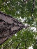 υψηλό δέντρο Στοκ Φωτογραφία