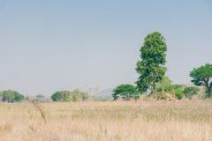 Υψηλό μεγάλο πράσινο δέντρο στον τομέα και τον ουρανό χλόης στοκ εικόνες με δικαίωμα ελεύθερης χρήσης