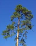 υψηλό πεύκο Στοκ εικόνα με δικαίωμα ελεύθερης χρήσης