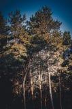Υψηλό σκάφος πεύκων στον ήλιο ενάντια στον ουρανό Οι κυρτοί κυρτοί κορμοί δέντρων ανέρχονται από το έδαφος στον μπλε θερινό ουραν στοκ φωτογραφίες