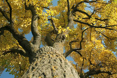 υψηλό mossy δέντρο ουρανού στοκ εικόνα