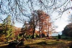 Υψηλά δέντρα και δέντρα πεύκων στο δάσος φθινοπώρου στο φως του ήλιου Στοκ Εικόνες