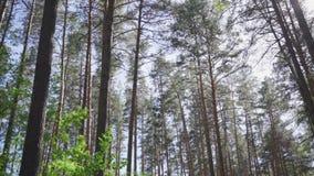 Υψηλά δέντρα πεύκων ενάντια στον ουρανό απόθεμα βίντεο