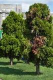 Υψηλά και πράσινα arborvitae Στοκ Εικόνες