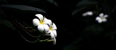 Υψηλά λουλούδια Plumeria αντίθεσης Στοκ Φωτογραφίες