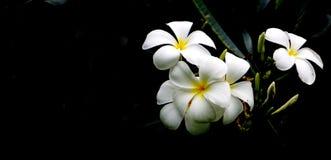 Υψηλά λουλούδια Plumeria αντίθεσης Στοκ εικόνες με δικαίωμα ελεύθερης χρήσης