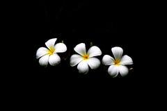 Υψηλά λουλούδια Plumeria αντίθεσης Στοκ Εικόνα