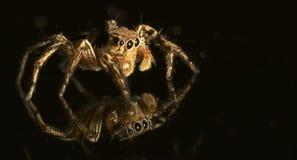 υψηλή αράχνη φωτογραφιών ενίσχυσης άλματος μακρο Στοκ Φωτογραφία