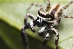 υψηλή αράχνη φωτογραφιών ενίσχυσης άλματος μακρο Στοκ εικόνα με δικαίωμα ελεύθερης χρήσης