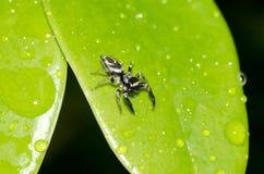 υψηλή αράχνη φωτογραφιών ενίσχυσης άλματος μακρο Στοκ φωτογραφία με δικαίωμα ελεύθερης χρήσης