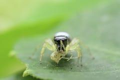 υψηλή αράχνη φωτογραφιών ενίσχυσης άλματος μακρο Στοκ φωτογραφίες με δικαίωμα ελεύθερης χρήσης