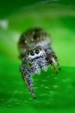 υψηλή αράχνη φωτογραφιών ενίσχυσης άλματος μακρο Στοκ Εικόνα