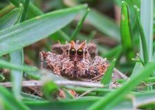 υψηλή αράχνη φωτογραφιών ενίσχυσης άλματος μακρο Στοκ εικόνες με δικαίωμα ελεύθερης χρήσης