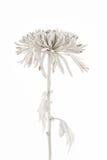 Υψηλή βασική φωτογραφία του άσπρου χρωματισμένου λουλουδιού Στοκ φωτογραφία με δικαίωμα ελεύθερης χρήσης