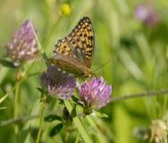 Υψηλή καφετιά πεταλούδα Fritillary Στοκ φωτογραφίες με δικαίωμα ελεύθερης χρήσης