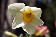 Υψηλή κοινωνία daffodil Στοκ φωτογραφία με δικαίωμα ελεύθερης χρήσης