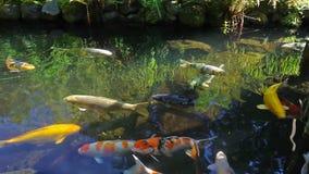 Υψηλός καθορισμός των ζωηρόχρωμων ψαριών Koi που κολυμπούν σε μια λίμνη στον κήπο 1080p φιλμ μικρού μήκους