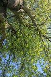 Υψηλός στους κλάδους δέντρων Στοκ Εικόνα