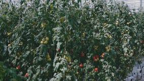Υψηλότεροι θάμνοι με τις πράσινες και κόκκινες ντομάτες σε ένα θερμοκήπιο απόθεμα βίντεο