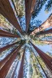 Υψωμένος Sequoia θόλος Στοκ Εικόνα