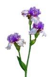 Υδατόχρωμα η γενειοφόρος Iris Στοκ Εικόνες