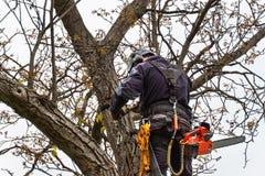 Υλοτόμος με την περικοπή πριονιών και λουριών ένα δέντρο Εργασία δενδροκόμων για το παλαιό δέντρο ξύλων καρυδιάς Στοκ Φωτογραφίες