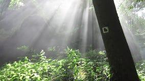 Υδρονέφωση και ηλιαχτίδες στο δάσος φιλμ μικρού μήκους