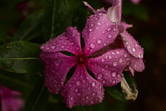 Υδρονέφωση λουλουδιών στοκ εικόνα με δικαίωμα ελεύθερης χρήσης