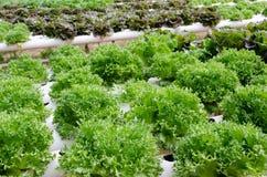 Υδροπονικά λαχανικά στοκ εικόνα