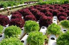 Υδροπονικά λαχανικά στοκ εικόνες