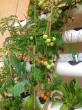 Υδροπονικές ντομάτες Στοκ Εικόνα