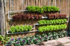 Υδροπονικό λαχανικό σαλάτας Στοκ εικόνα με δικαίωμα ελεύθερης χρήσης