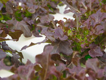 Υδροπονικό λαχανικό στο αγρόκτημα Στοκ φωτογραφίες με δικαίωμα ελεύθερης χρήσης